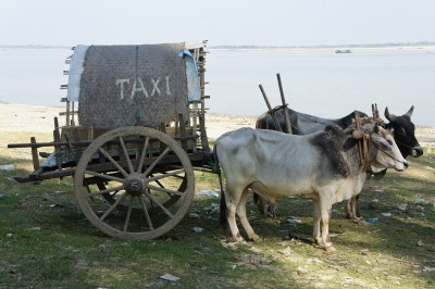 Beware transportation scams. Two oxen pulling a cart with a taxi sign on it.