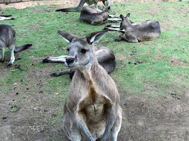 Kangaro in Tasmania