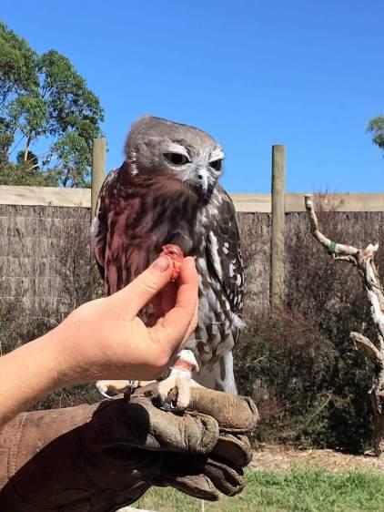 Bird of Prey Australia