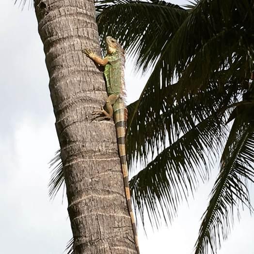 Iguana on South Beach