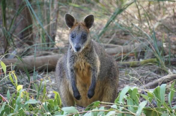 Wallaby on Kangaroo Island.