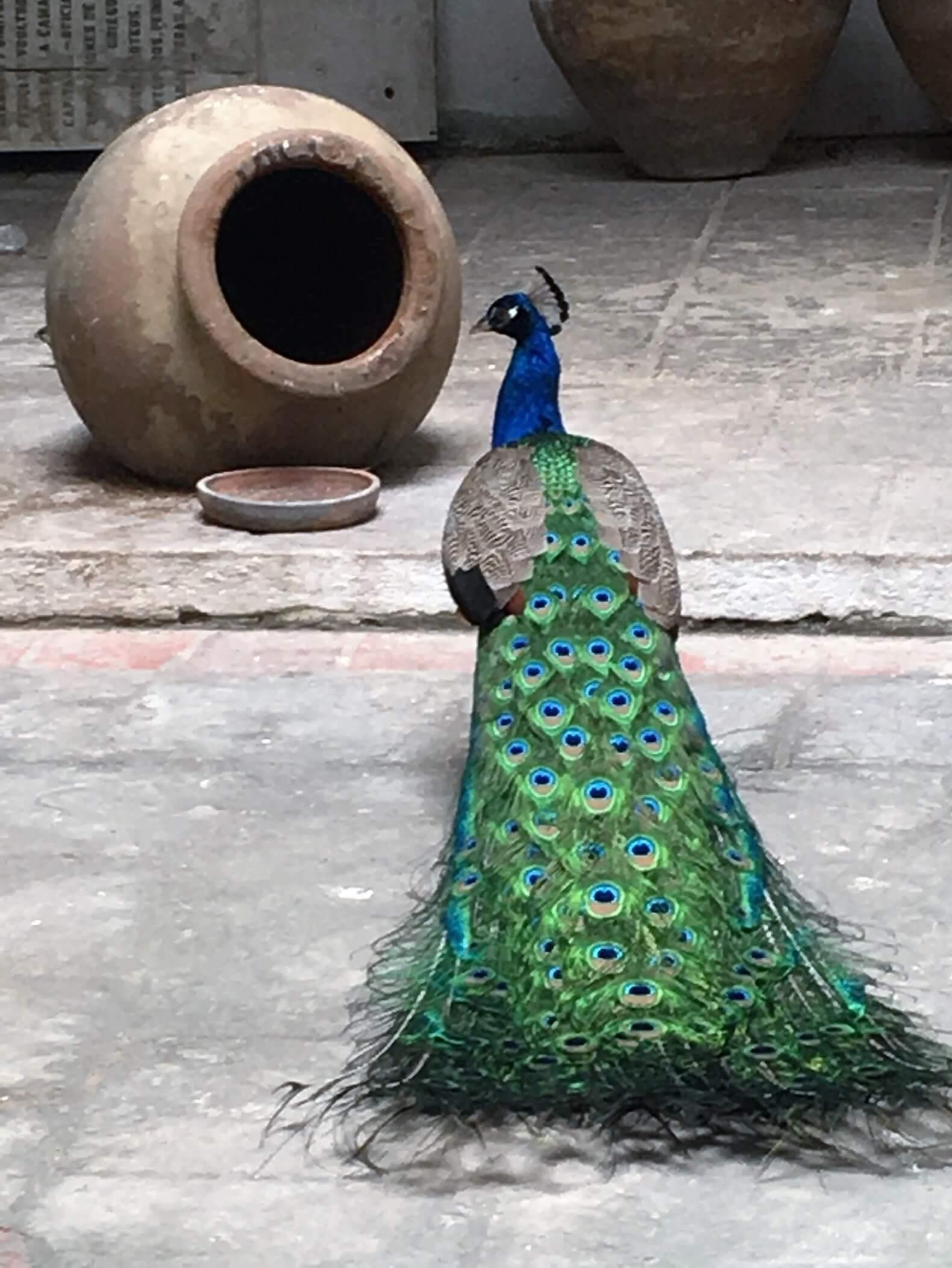 Peacock in Havana