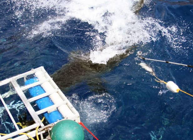 Guadalupe Island, shark week, shark cage accident