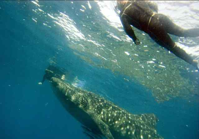 whale sharks, travels with tam, adventures, snorkel with whale sharks
