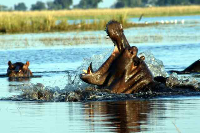 Hippo Yawn!