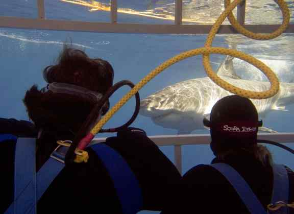 cage diving, great white sharks, shark cage accident