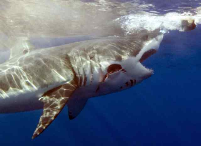 shark cage accident, shark week, great white sharks