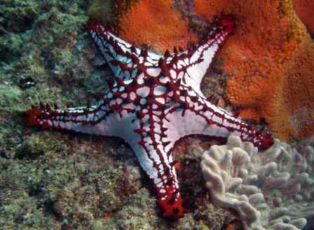 Gorgeous seastar