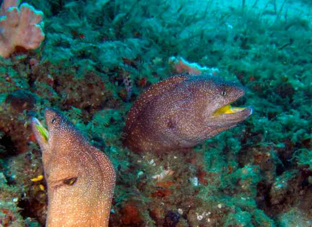Yellow mouthed eels
