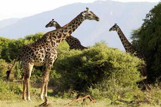 The Massai Giraffe