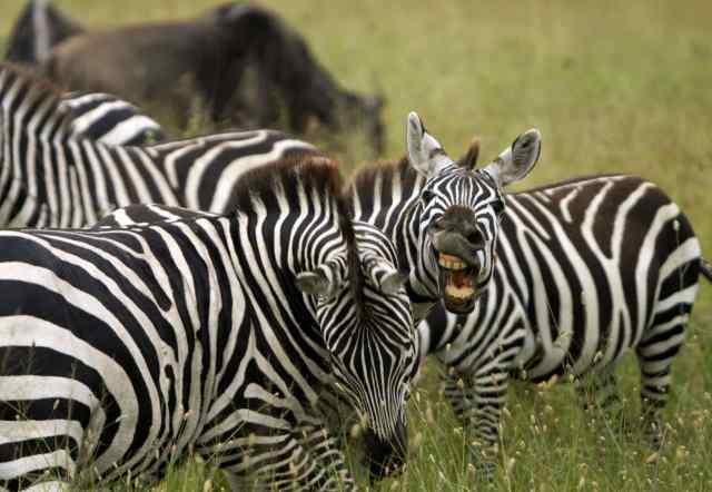 zebra, safari, africa