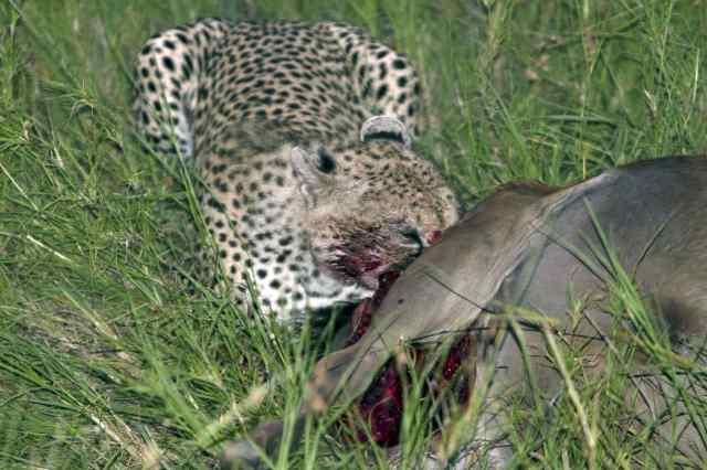 tan 12 sg cheetah kill