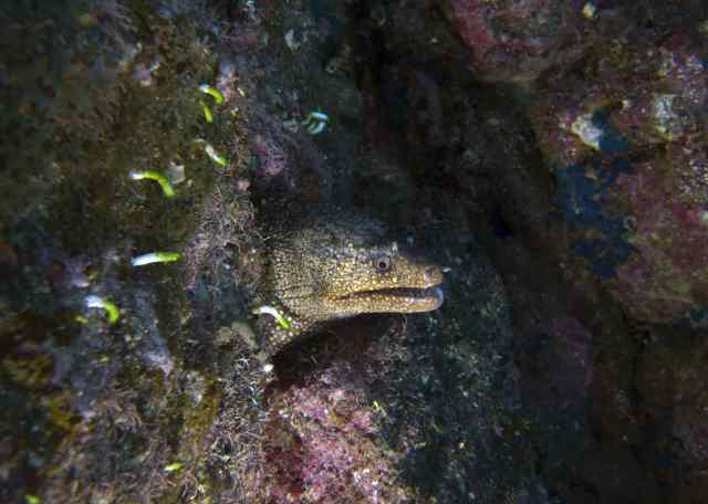 Beautiful Jewel Moray