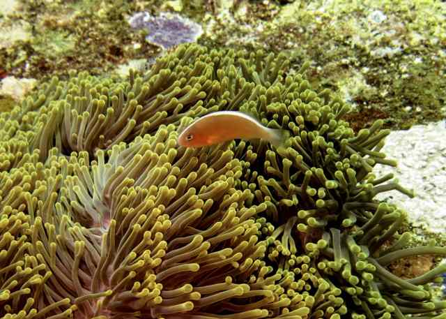 Skunk amemonefish!