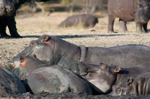 """Pigs in mud"", hippos, really."
