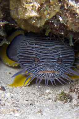 A Splendid Toadfish