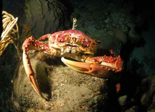 Crab having dinner!