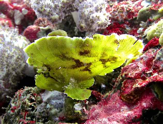 Leaf fish are almost impossible to find!