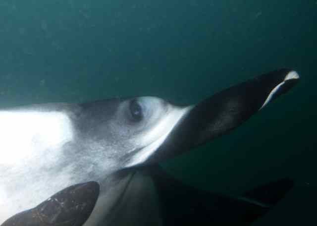 This manta was extremely friendly and checked me out for quite a while.  Ahhh!!!  Look at the eye!!!!!!!!