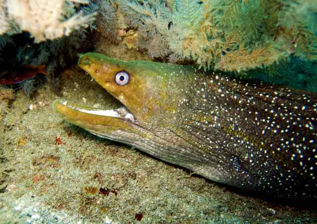 A Green Pacific Moray eel is spotted!