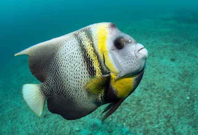 A juvenile King Angelfish