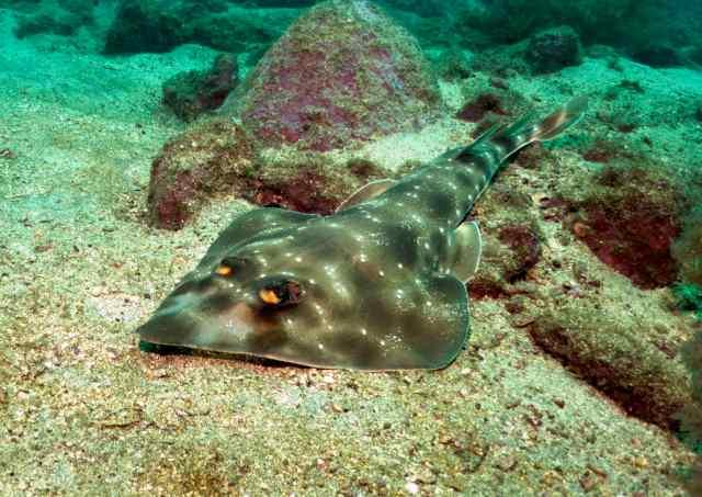 A guitarfish!