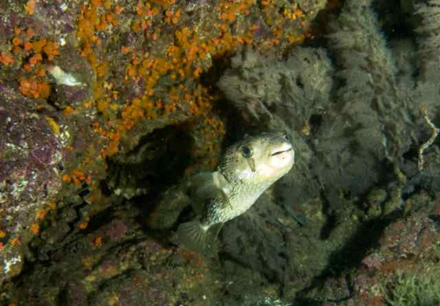 Stiped Porcupinefish look like ET!