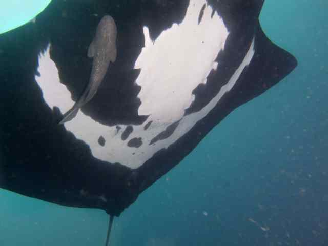 Another ID shot.  Each Manta has a different belly marking.