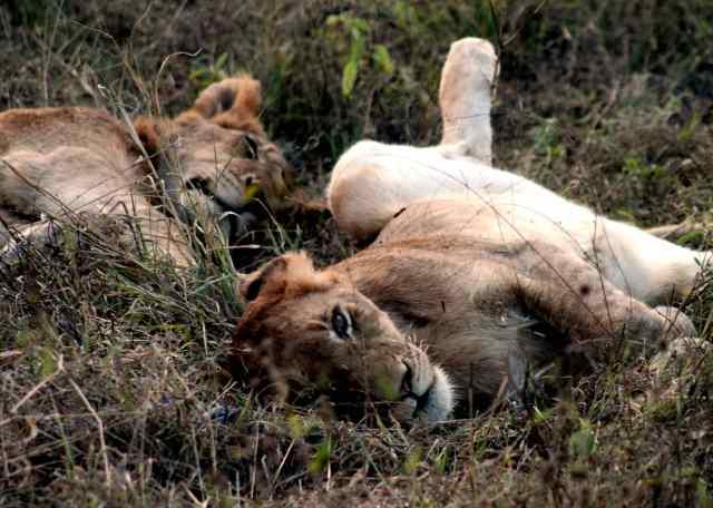 ally sabi 09 lion pride