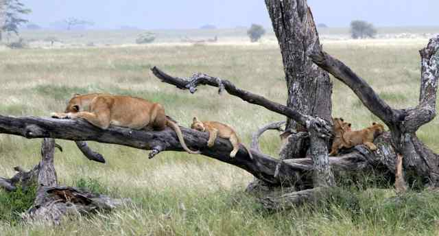 tan 12 sg lioness and cubs on branches