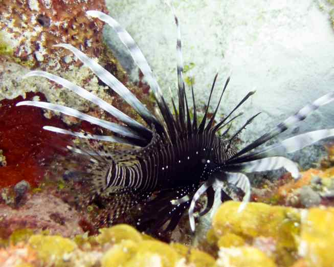 The invasive Lionfish.