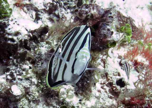 A Banded Butterflyfish