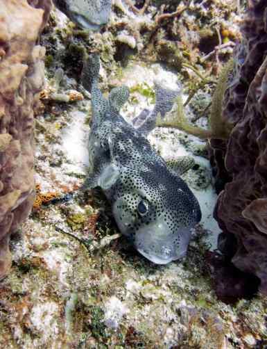 fr 15 porcupinefish