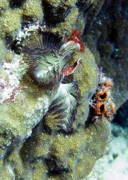 Gorgeous Christmas Tree Worms...these small, beautiful worms look like flowers on coral.