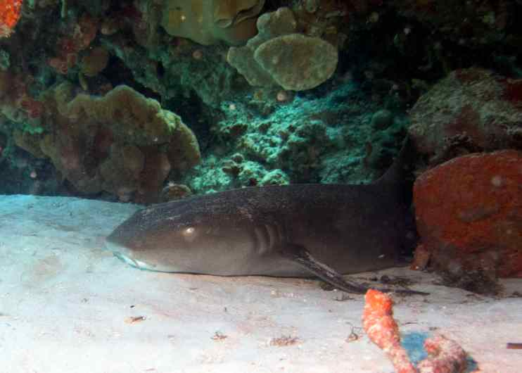 15 cp nurse shark under ledge