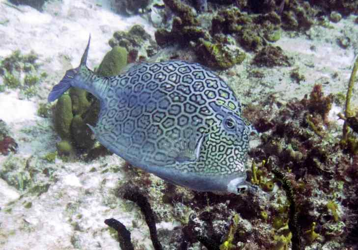 Honeycomb Cowfish change color also...I love their pursed little mouths.