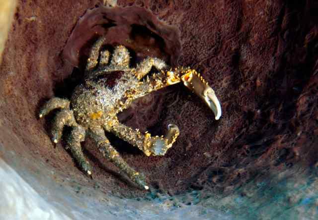 15 cg giant crab inside huge barrel sponge