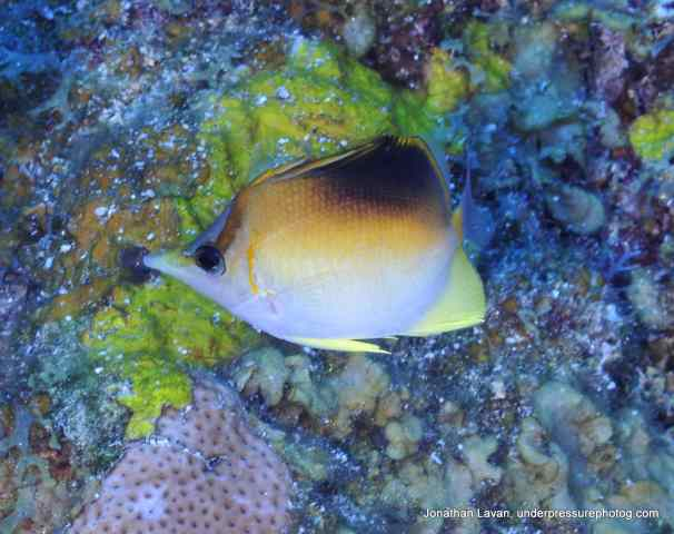 Long Snout Butterflyfish