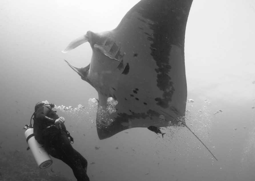manta ray, scuba, diving, travel