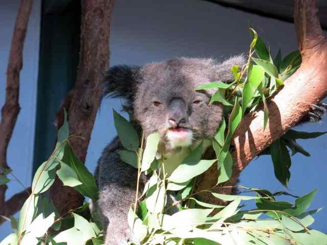 koalas, kangaroos, empty nest