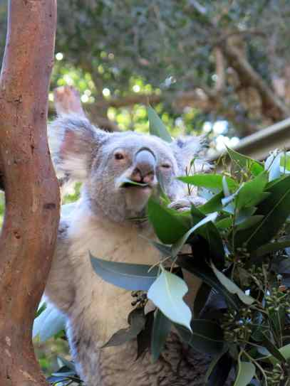 koalas, kangaroos, magic