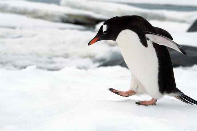 penguins, antarctica, lindblad, gentoos, leopard seals