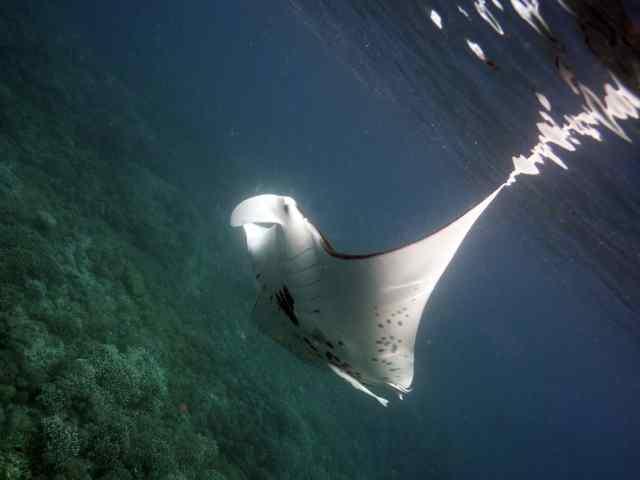 scuba, raja ampat, Manta Ray, citizen science
