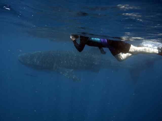 whale sharks, travels with tam, adventures, swim with whale sharks