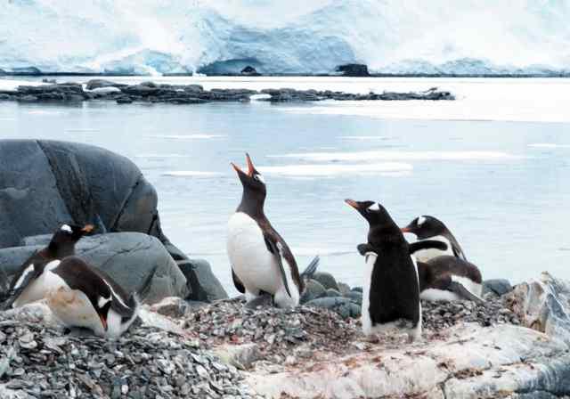 penguins, emperor penguins, antarctica