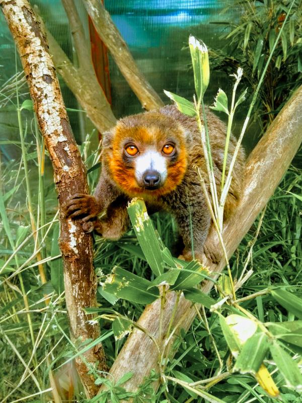 Linton Zoo Animals - Mongoose Lemur
