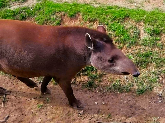 Linton Zoo Animals - Tapir