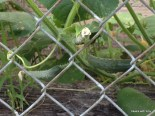 early cukes