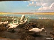 Bell Museum diorama