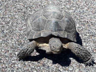Desert Tortoise Arizona